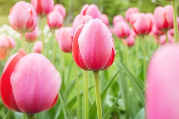 Różowe tulipany rosną w parku.