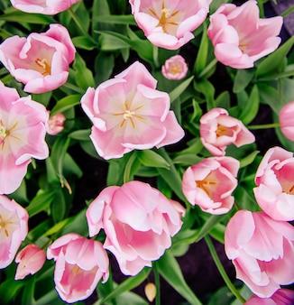 Różowe tulipany w holandii.
