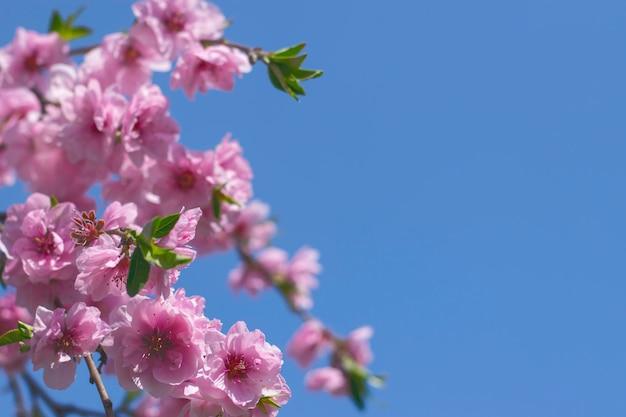 Różowe wiśniowe kwiaty sakury