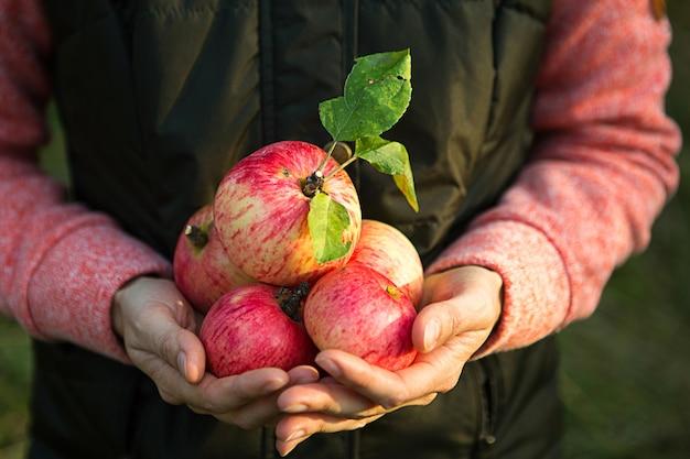 Różowe z paskami świeże jabłka z gałęzi w rękach kobiet na ciemnozielonym tle. dożynki jesienne, rolnictwo, ogrodnictwo, święto dziękczynienia. ciepła atmosfera, naturalne produkty ekologiczne