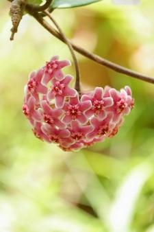 Różowego hoya kwiatu kwitnący tło