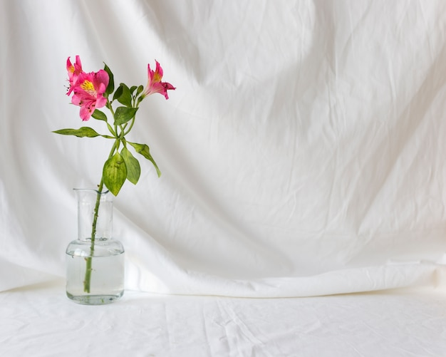Różowi alstroemeria kwiaty w przejrzystej wazie przeciw białemu zasłony tłu