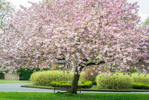 Różowi czereśniowi drzewa w kwiacie w parku podczas wiosny