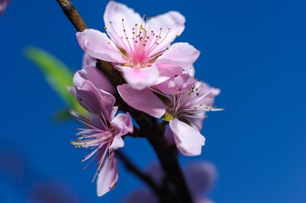 Różowi czereśniowi okwitnięcia na drzewie z zamazanym tłem, zakończenia sakura kwiat w japonia