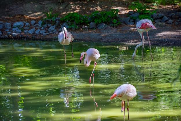 Różowi flamingi szuka ich jedzenia w stawie