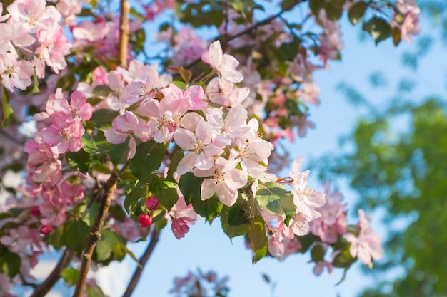 Różowi jabłczani kwiaty, wiosny tło