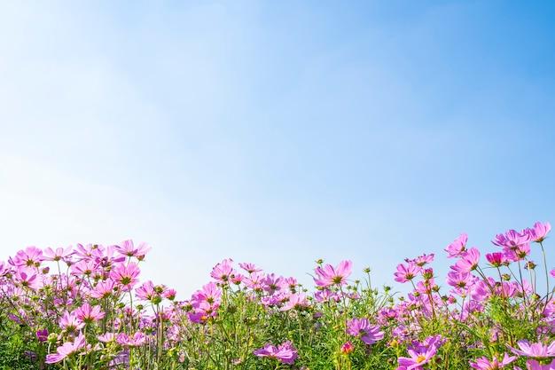 Różowi kosmosów pola z niebieskim niebem w słonecznym dniu. charakter tła.