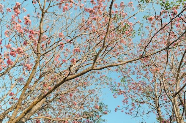 Różowi kwiaty kwitną drzewa w parku z niebieskim niebem, tajlandia