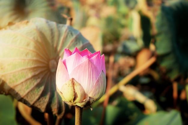 Różowi lotos przy światłem słonecznym.