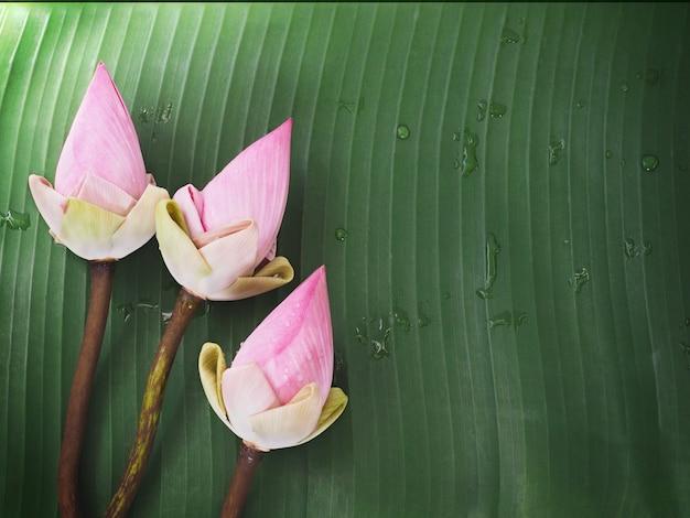 Różowi lotosowi kwiaty na zielonym bananowym liściu z wodnymi kroplami. spa tle kwiatów.