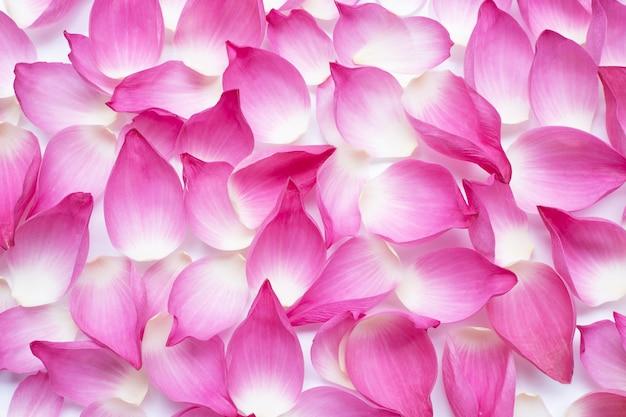 Różowi lotosowi płatki na białym tle.