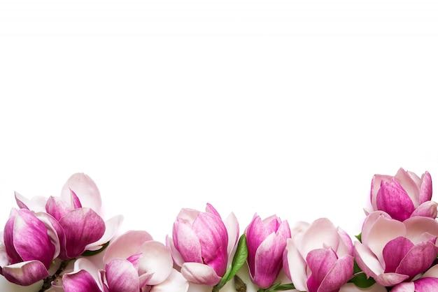 Różowi magnolia kwiaty odizolowywający na białym tle z kopii przestrzenią dla powitanie wiadomości