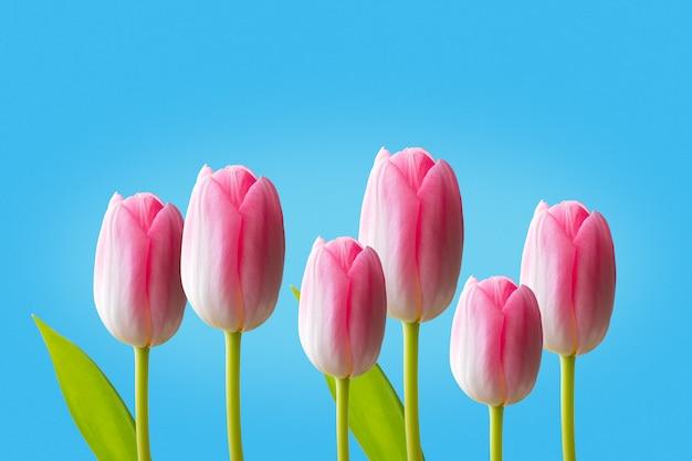 Różowi tulipany odizolowywający na błękitnym tle