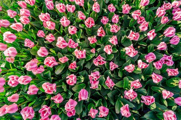 Różowi tulipany w holandia tle