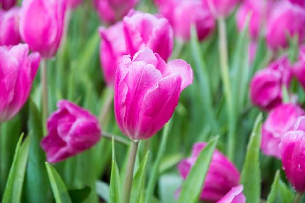 Różowi tulipany w ogródzie