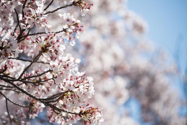 Różowy biały kwiat wiśni lub kwiat sakury w pełnym rozkwicie w japonii