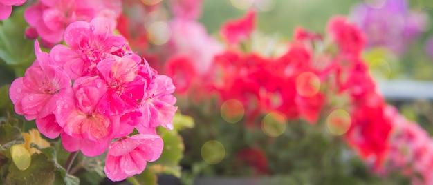 Różowy bodziszek w ogródzie, wiosny tło