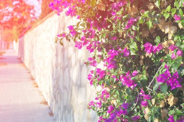 Różowy bougainvillea kwiat na pejzażu miejskiego tle