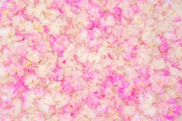 Różowy bougainvillea kwiat, use dla tła.