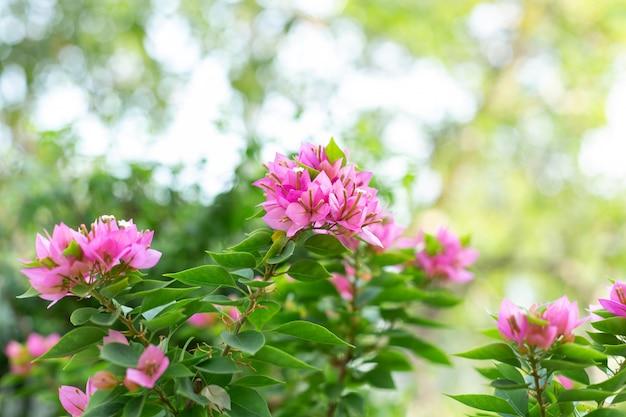 Różowy bougainvillea kwitnie w naturze.