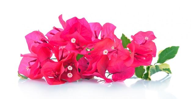 Różowy bougainvillea odizolowywający na bielu