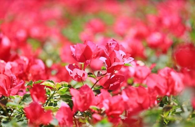 Różowy bougainvillea papierowy kwiat w ogródzie.