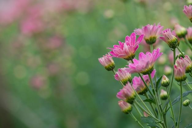 Różowy chryzantema kwiat w gerden