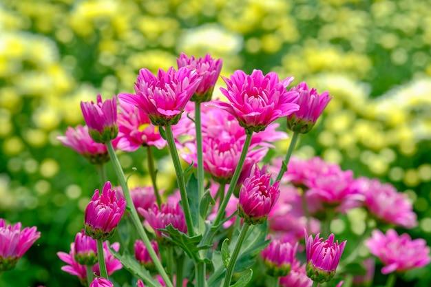 Różowy chryzantema kwiat w ogródzie