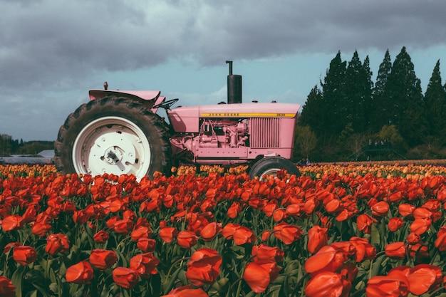 Różowy ciągnik w polu pełnym pięknych kolorowych tulipanów