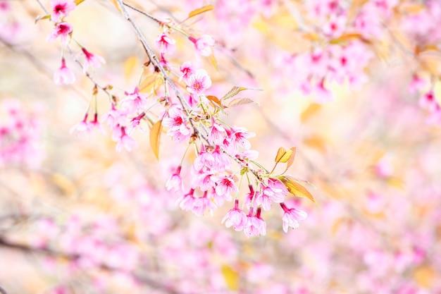 Różowy czereśniowy okwitnięcie kwitnie, dzika himalajska wiśnia przy północą tajlandia (prunus cerasoides)