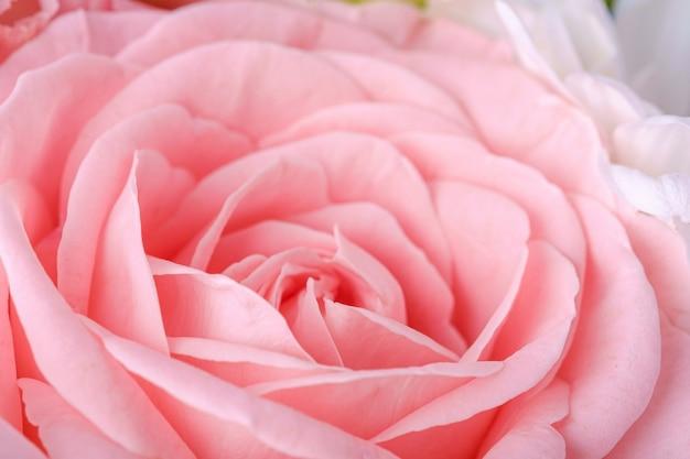 Różowy czuły elegancki kwiat róży zakończenie up, makro-