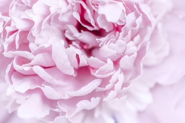 Różowy fioletowy streszczenie tło płatków piwonii. tapeta. makro
