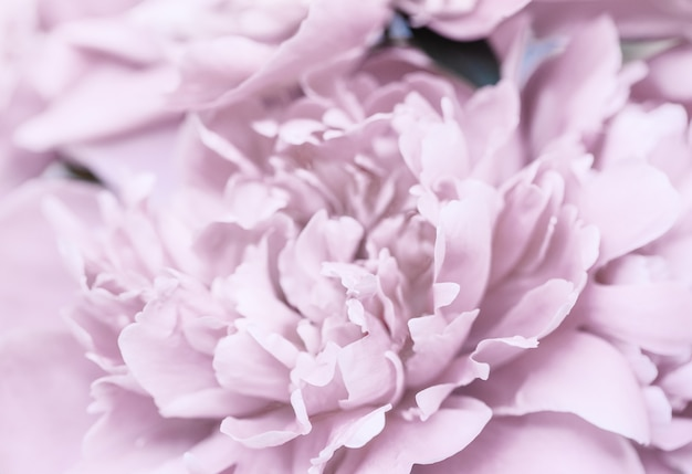 Różowy fioletowy streszczenie tło płatków piwonii. tapeta