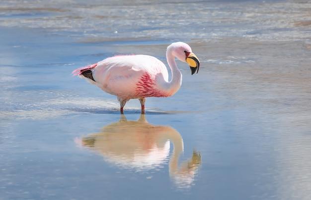 Różowy flaming i odbicie w lagunie hedionda w boliwii ameryka południowa
