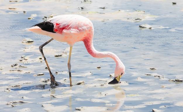 Różowy flaming spaceruje po lagunie hedionda w boliwii w ameryce południowej