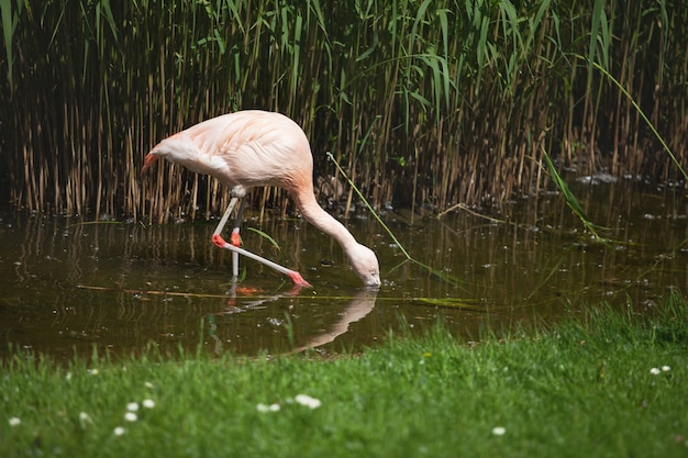 Różowy flaming szuka pożywienia w wodzie.