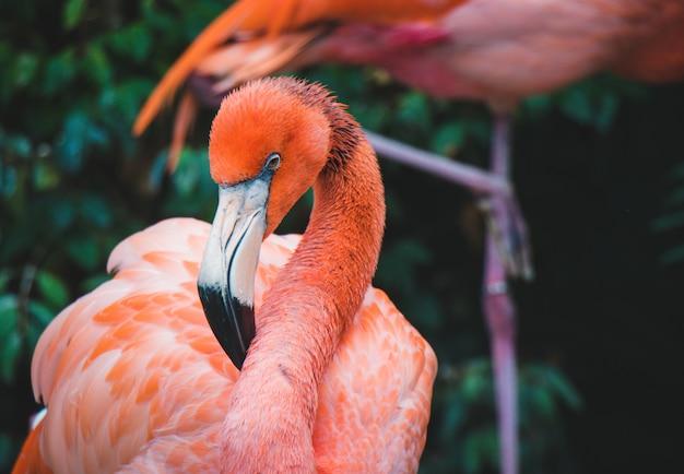 Różowy flamingo z bliska