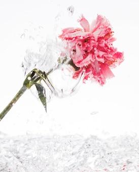 Różowy goździk wpada do wody