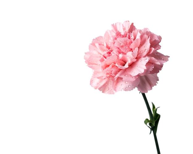 Różowy goździka kwiat odizolowywający na białym tle z ścinek ścieżką