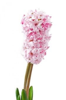 Różowy hiacynt na białym tle