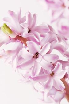 Różowy hiacynt