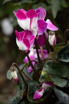 Różowy i biały cyklamen (persicum) w pełnym rozkwicie w angielskim ogrodzie