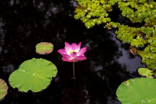 Różowy i biały kwiat lotosu i zielony liść w wodzie natury basen, kwiatowa woda w parku
