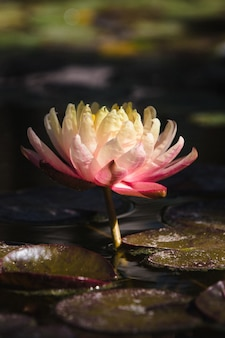 Różowy i biały kwiat lotosu na wodzie