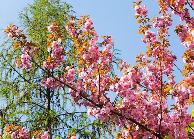 Różowy japoński kwiat gałązki wiśni na tle błękitnego nieba