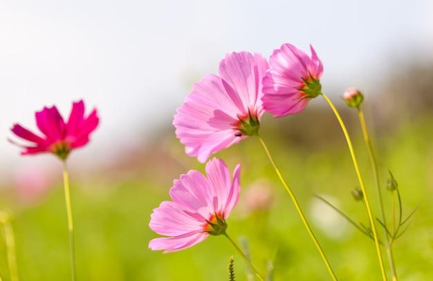 Różowy kosmos kwiat kwitnący w tej dziedzinie