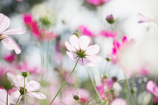 Różowy kosmosu kwiat w ogródzie