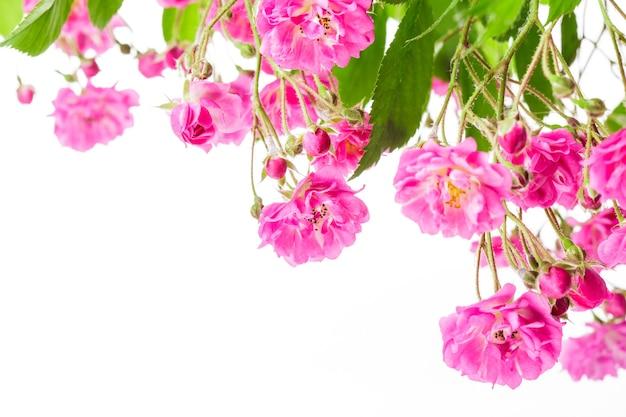 Różowy krzew róży na białym tle