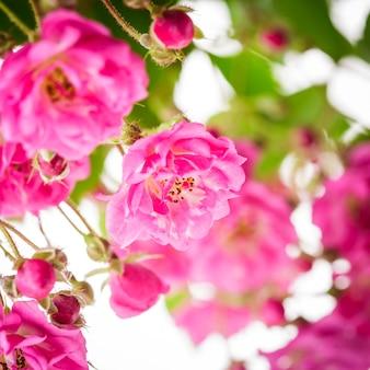 Różowy krzew róży z bliska na białym tle