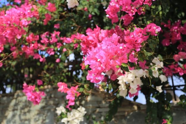 Różowy kwiat bougainvillea w grecji